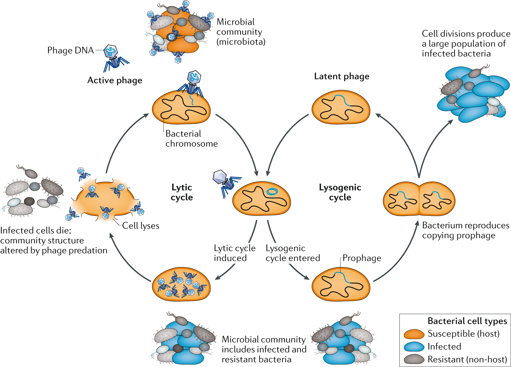 Bacteriophages Of The Lower Urinary Tract | Nature Reviews with regard to Uti School Calendar