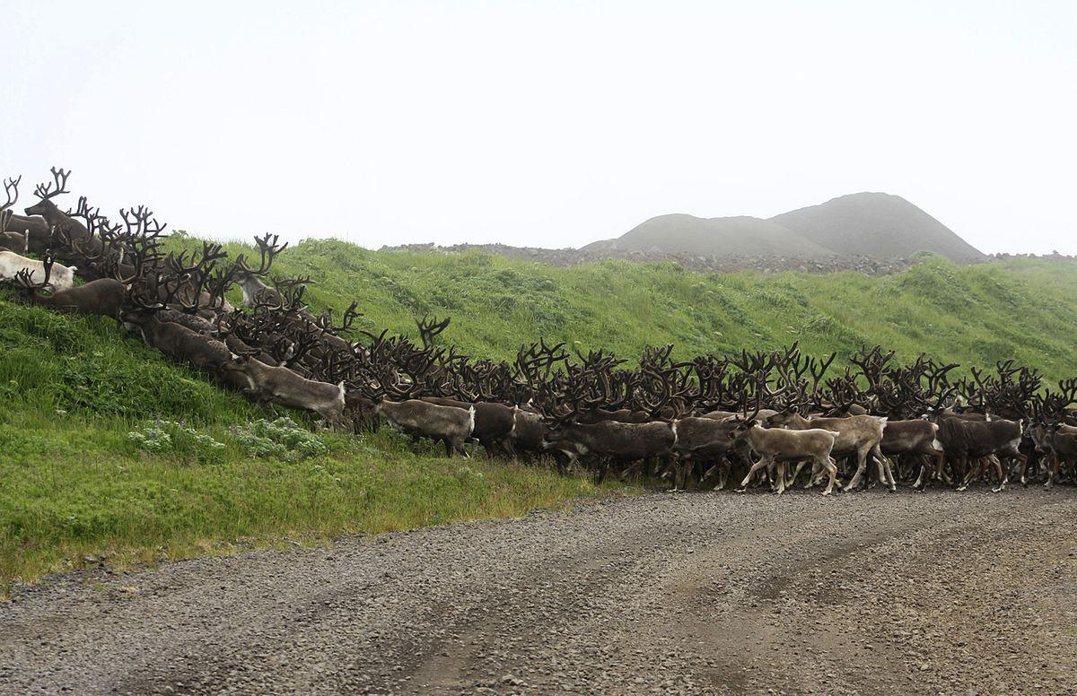 Bering Sea Village Considers Reindeer Meat Processing As An inside St George Economic Calendar
