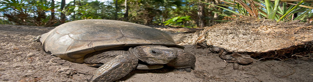 Gopher Tortoise Information And Facts pertaining to Moon Phase For Gamefowl