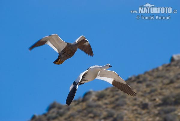 Magellan Goose Photos, Magellan Goose Images, Nature inside Moon Phase For Gamefowl