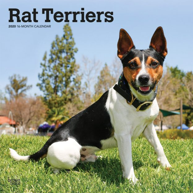 Rat Terriers 2020 Square Wall Calendar   Dogdays 2021 throughout December Calendar 2021 Empire And Puzzles